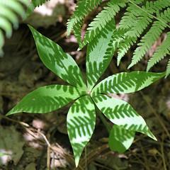 Fern shadows (cheryl.rose83) Tags: plants fern shadows