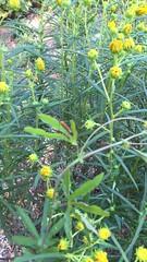 swaying gently to welcome autumn (mimbrava) Tags: willowleafedsunflower helianthussalicifoliustablemountain sunflower buds breeze gulffritillarycaterpillar agraulisvanillae arr allrightsreserved mimeisenberg mimbrava mimbravastudio