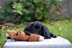 miles_9-28-16d (bmullaney1) Tags: black labrador dog retriever lab