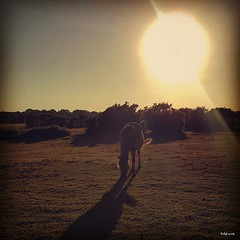 Grazing Sunset (Ruby_Louise) Tags: thenewforest natural heritage landscape rural park grazing pony wildlife sunsetting bright vintage