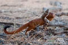 Slender Mongoose (fascinationwildlife) Tags: animal mammal nature natur wild wildlife kalahari kgalagadi park national transfrontier south africa sdafrika afrika desert slender mongoose schlankmanguste manguste wste safari