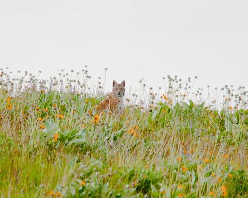 Spying Bobcat