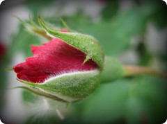 """Rosebud"" (ellenc995) Tags: rose bud flower citrit rubyphotographer naturesfinest naturallywonderful coth platinumheartaward supershot friends closeup coth5 abigfave photographsandmemories concordians seeawonder hennysgardens 100commentgroup challengeclubchampion akob thegalaxy"