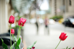 Something from a quieter day on the streets of Vancouver (cteteris) Tags: street pink flowers vancouver 50mm spring tulips bokeh 14 robson nikond700