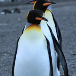 A trio of King Penguins thumbnail
