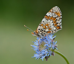 Doncella (ruben diez cuesta) Tags: macro nature butterfly wildlife micro nikkor mariposa vr truco 105mm f28g d300s