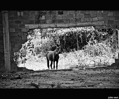 (.joao xavi.) Tags: blackandwhite bw horse riodejaneiro rj pb sw cavalo pferd pretoebranco santoaleixo mag baixadafluminense schwartzundweiss
