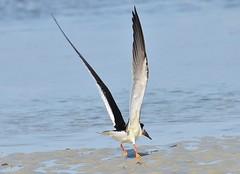 Black Skimmer (Bo Chambers) Tags: bird nature water fly wings sand florida wildlife feathers waterbird skimmer shorebird blackskimmer