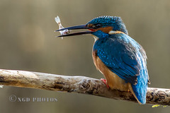 Kingfisher with Stickleback (Novisteel) Tags: birds spring flickr wildlife kingfisher ngdphotos