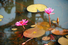 Nnuphars (ichauvel) Tags: flowers reflection fleurs asia cambodge cambodia asie reflets nnuphars