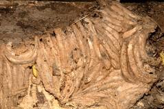 Bee-moth or Wax-moth, Aphomia sociella,  pupal cocoons,  Arrington, Cambridgeshire   DSC_6955 (Cladoniophile) Tags: moth silk caterpillar pyralidae cocoon pyralid beemoth waxmoth
