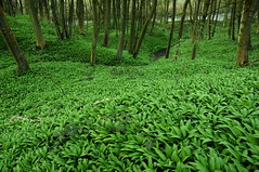 Ground cover (Keartona) Tags: wood wild england plant green nature tom carpet woods ground cover garlic etherow charlesworth ransoms