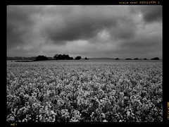 Field of Rapeseed (sagesolar) Tags: flowers trees field clouds sussex chichester rapeseed