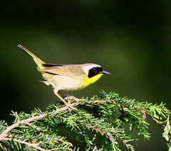 Yellowthroat Pose (mghornak) Tags: bird nature canon pennsylvania wildlife warbler yellowthroat commonyellowthroat woodwarbler coth 50d coth5