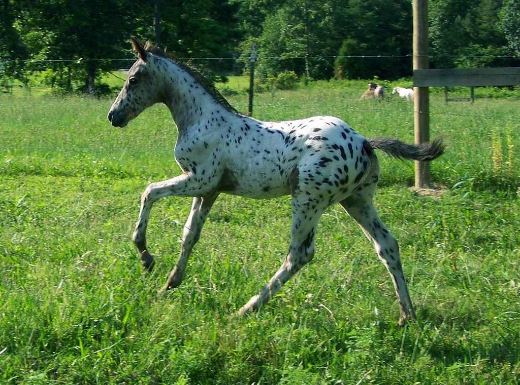 research paper appaloosa I am going to write a research paper in english and i would like a horse topic good research paper topic on horses appaloosa genetics would put you through lots of research.