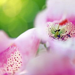 Lost in Paradise (Tanjica Perovic) Tags: life morning pink flowers light summer blur flower macro green nature colors beautiful beauty june garden insect photography petals soft dof natural bokeh vibrant ant serbia joy naturallight sensual digitalis squareformat dreamy foxglove tender freshness gentle srbija shallowdof vitality fotografija canoneos400d sigma1770mmf2845dcmacro pirotserbia tanjicaperovicphotography insectinsideaflower antinsideaflower