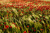 wind on barley. (guti1111azul) Tags: flowers españa flores spain poppies amapolas andromeda50