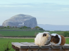 Griff, Mal, Bass Rock, 11 May 14 (Castaway in Scotland) Tags: pet cute animal studio scotland guinea pig cavy rodent cabin adorable east lothian tantallon