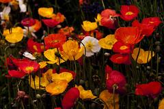 Papaver. Mohn. Poppy. 3. (George Ino) Tags: utrecht nederland thenetherlands poppy klaproos papaver mohn maanzaad klaprozen georgeino georgeinohotmailcom