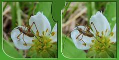 Scudder's Bush Katydid Nymph 1 - Parallel 3D (DarkOnus) Tags: flower macro closeup manipulated insect lumix stereogram 3d bush pennsylvania parallel nymph katydid stereography buckscounty scudders dmcfz35