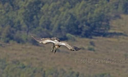 Cape Vulture  approach , feet  down_1140