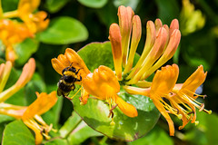 Wet Bee After the Rain (Lee532) Tags: flowers nikon bees bee nikkor d610 2470mmf28