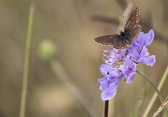 L'été se traine... (mrieffly) Tags: canoneos50d 100400issériel papillon findété