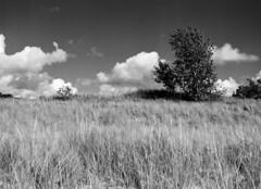 Dune life (pabs35) Tags: grandmerestatepark michigan dune sanddune dunescape film believeinfilm blackandwhite bw mediumformat 120 ilford fp4 fp4plus ilfordfp4plus mamiya m645 1000s mamiyam6451000s tree vegetation foredune clouds redfilter