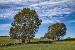 Eucalypts and Dry Stone Wall (johnwilliamson4) Tags: angaston bluesky clouds drystonewall eucalyptus rurallandscape southaustralia trees australia coth coth5 alittlebeauty sunshine5