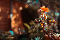 Fuji x-t10 pentacon 30mm (Jasrmcf) Tags: fuji fujinon fujifilm fujixt10 macro dof depthoffield pentacon 30mm garden nature beautiful flowers flower orange autumn bokeh bokehlicious bokehgraph smooth blur