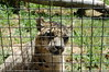 Snow Leopard (JSleeper) Tags: oregon snowleopard greatcatsworldpark