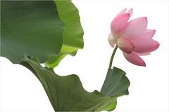 Lotus Flower - IMG_5057 (Bahman Farzad) Tags: flower macro yoga peace lotus relaxing peaceful meditation therapy lotusflower lotuspetal lotuspetals lotusflowerpetals lotusflowerpetal