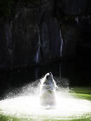 Zoo #1 (Mats Berglund) Tags: bear berlin water animal swimming zoo warmth majestic emerging cascade playful icebear spraying