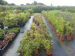 2011-06-24 09.46.19 (jeremy_norbury) Tags: garden beds centre nursery growing patch lonicera nitida