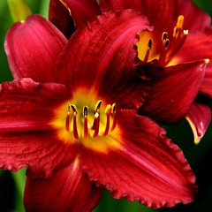 mysterious (aokcreation) Tags: red flower color macro nature yellow closeup garden botanical blossom bokeh ngc daylily sony350 awesomeblossoms