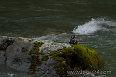 "Harlequin Duck • <a style=""font-size:0.8em;"" href=""http://www.flickr.com/photos/63501323@N07/5883484788/"" target=""_blank"">View on Flickr</a>"