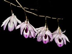 dendrobium maccarthiae (Eerika Schulz) Tags: dendrobium maccarthiae eerika schulz