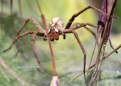 Watching over (out in the sticks) Tags: macro female spider arachnid invertebrate arthropod nurserywebspider pisauramirabilis canonef100mmf28macrousm canoneos50d