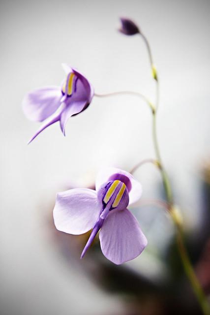Utricularia reiniformis - small form