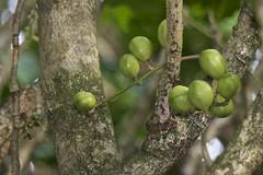 Kohekphe fruit - (Dysoxylum spectabile) (Steve Attwood) Tags: newzealand plant tree fruit canon wellington floweringtree kohekohe otariwiltonsbush meliaceae dysoxylumspectabile dysoxylum