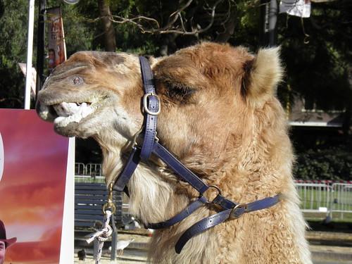 Camel Chewing Cud