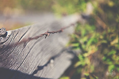 Spring Fence (Marvett Smith (Savoring the Simple)) Tags: leaves woodenfence barbedwire fencefriday