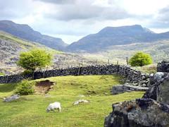 Nantcol (St, George) Tags: trees mountains grass stone wales fence nationalpark sheep farm heather masonry lamb snowdonia northwales walling nantcol rhinog dyffrynardudwy nikoncoolpixs8100