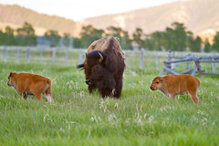 "Twin bison calves watched over by their mother (IronRodArt - Royce Bair (""Star Shooter"")) Tags: baby cute animals mammal twins buffalo american calf bison calves grandtetonnationalpark babyanimal babyanimals americanbuffalo americanbision"