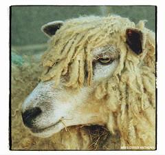 CWMCRWTH FARM RhDANTHONY (2)A (RHYSDYFED) Tags: wales canon eos cow bacon carmarthenshire sheep farm cymru bull pigs sausages sir gar llandeilo caerfyrddin dyfed 600d visitwales tywivalley discovercarmarthenshire cwmcrwthfarmcottages cwmcrwth