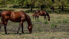 horses-9 (Lisa Delores Photography) Tags: horses canon mare morganhill foal mhpc