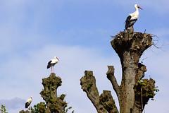 In a line - 3 storks - Strche (okrakaro) Tags: blue sky tree bird nature germany natur himmel line mai blau stork storks inaline treestumps storch 2014 strche baumstumpf 3storks
