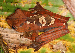 Map Tree Frog (Hyla geographica) (cowyeow) Tags: macro peru nature amazon rainforest frog frogs copper loreto treefrog herp herps peruvian herpetology hyla madreselva amazonriver herping hylageographica