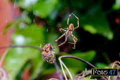 Courting dance of the European garden spider (Araneus diadematus) (Foto47Horn) Tags: spider mating outdoor sunshine arachnide