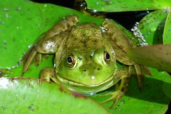 Smiling Frog (FoxInTheWoods) Tags: towerhillbg towerhillbotanicgarden frog amphibian green smile publicgarden lilypad lilypond eyes webbedfeet